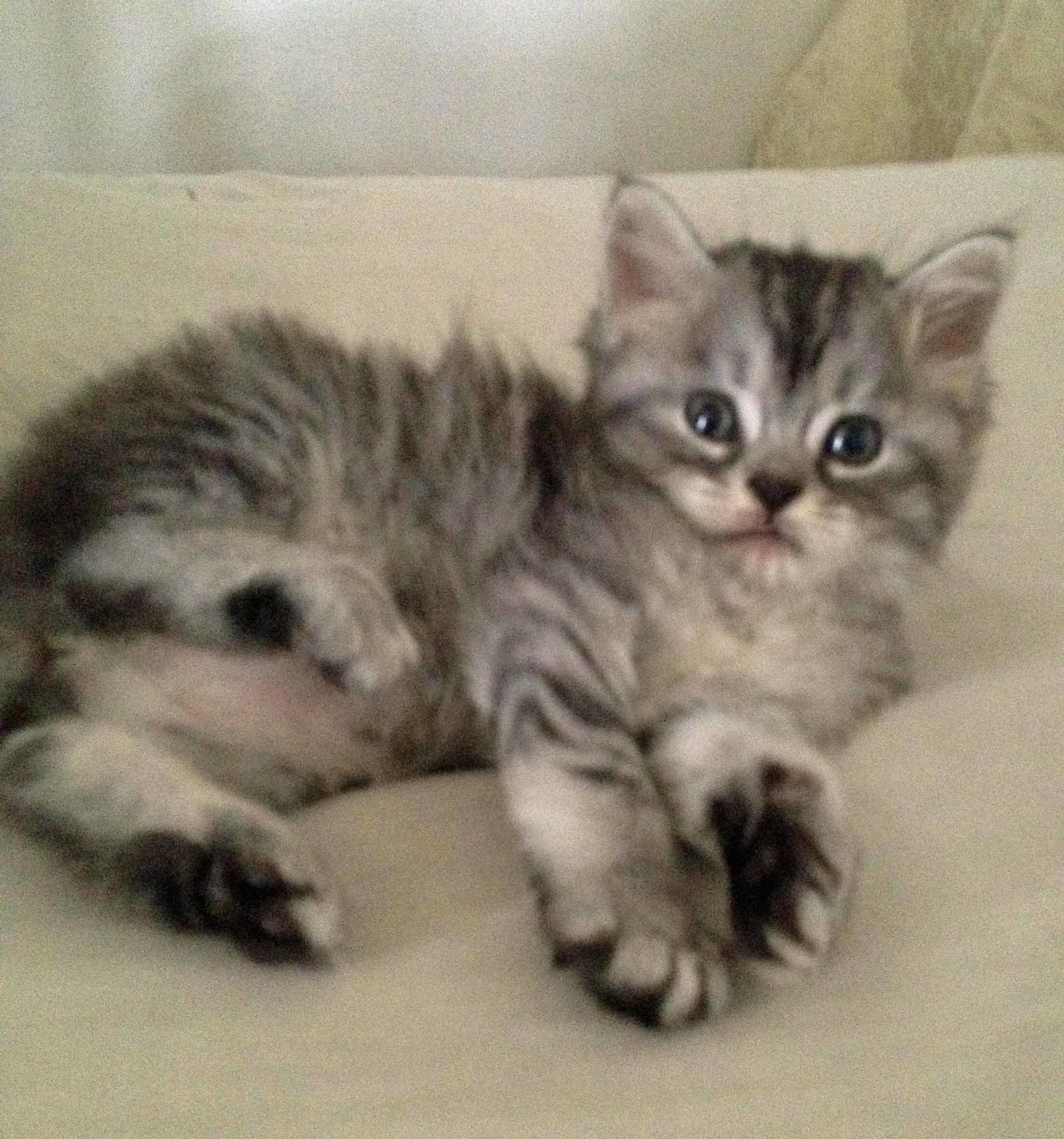 Silver Tabby BRED Kittens For Sale