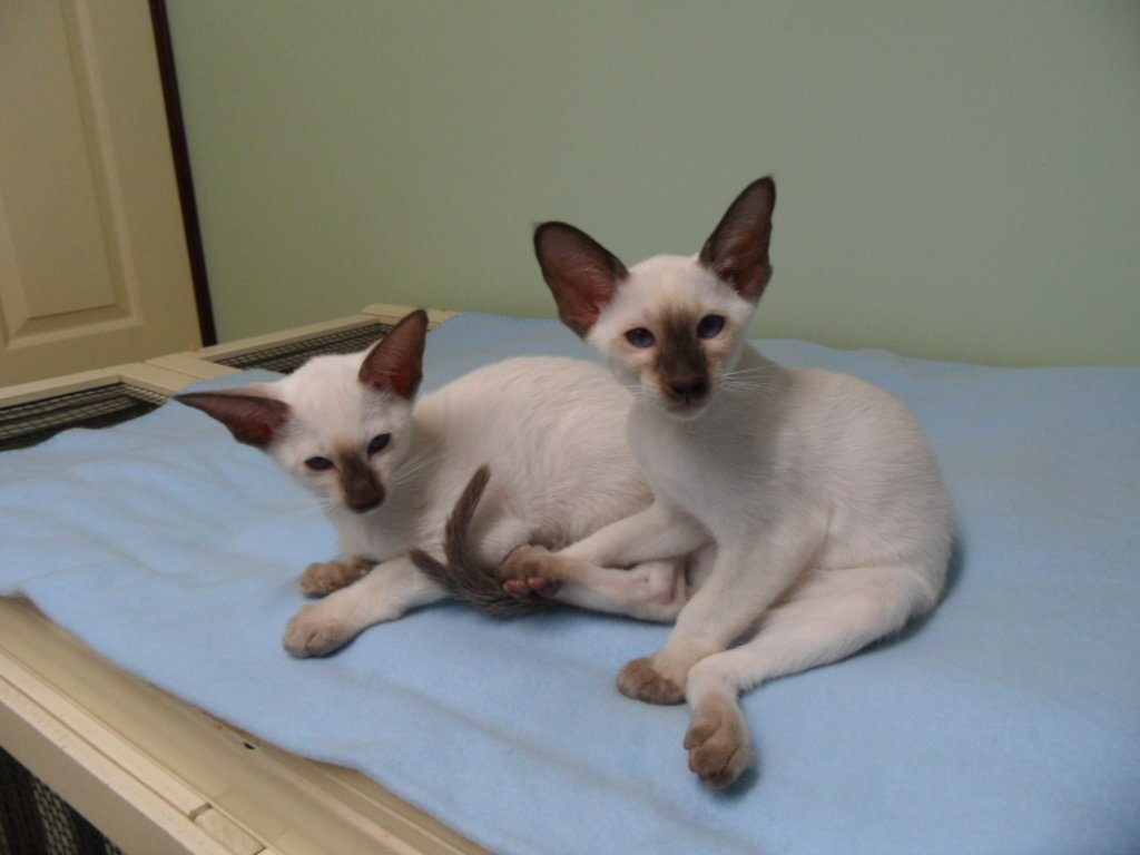 Siamese cats brisbane