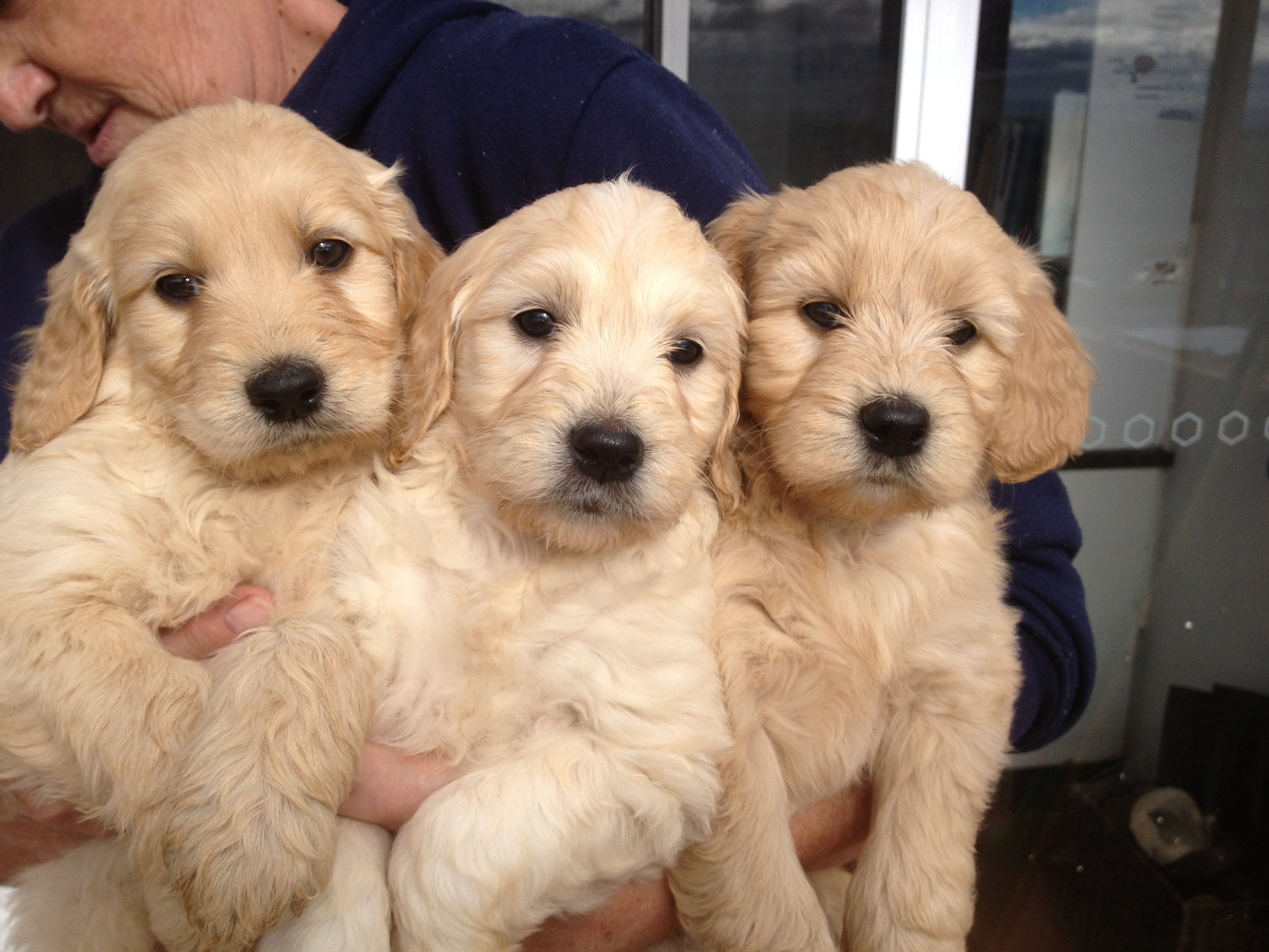 Puppies golden retriever x poodle for sale nsw bathurst