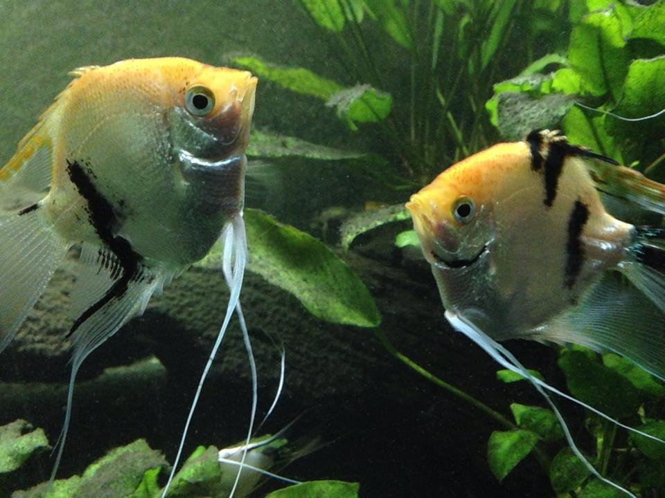 Pearlescent koi angel fish for sale to good homes for Koi fish price guide