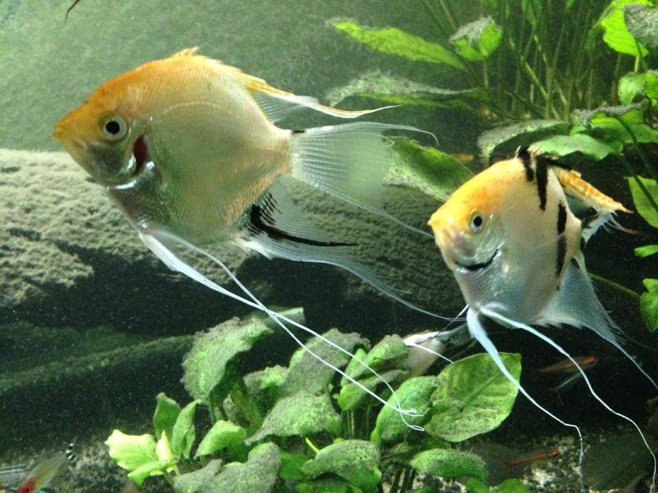 Pearlescent Koi Angel Fish For Sale To Good Homes