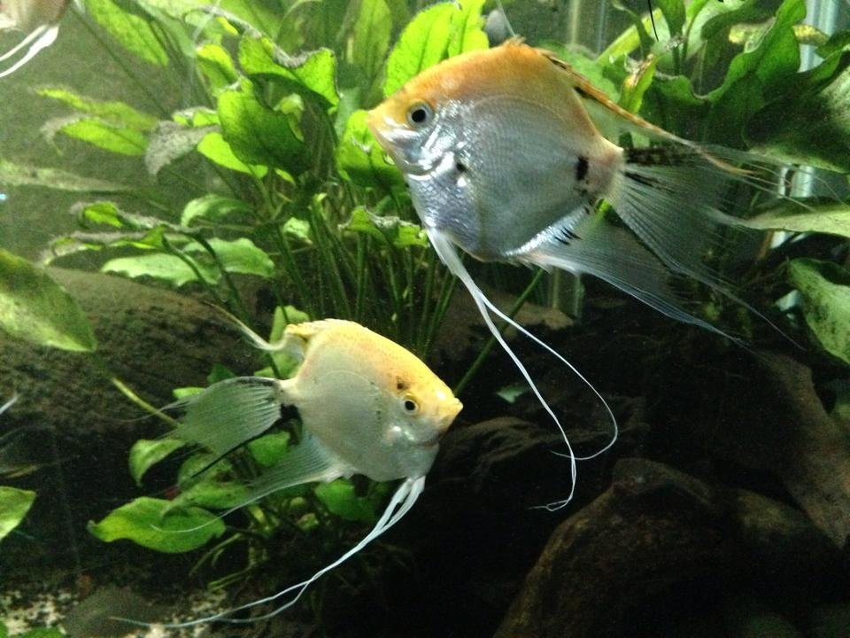 Pearlescent koi angel fish for sale to good homes for Baby koi carp for sale