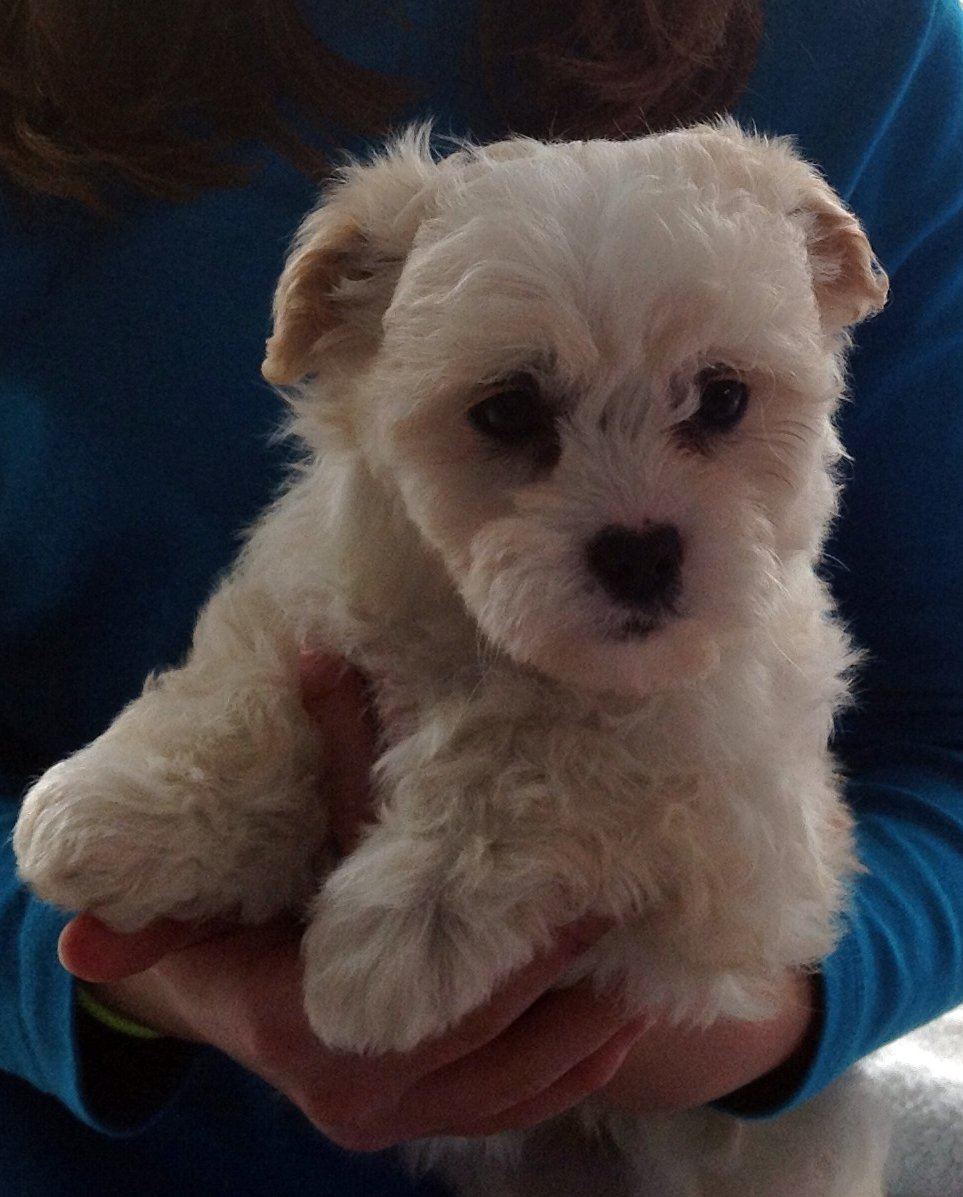 ... Adorable Bichon Frise' Cross Maltese Puppies | For Sale NSW: Newcastle