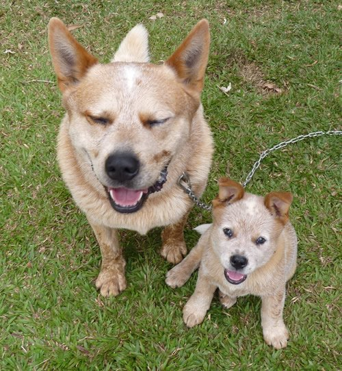 Australian Cattle Dog Puppies For Sale Vic