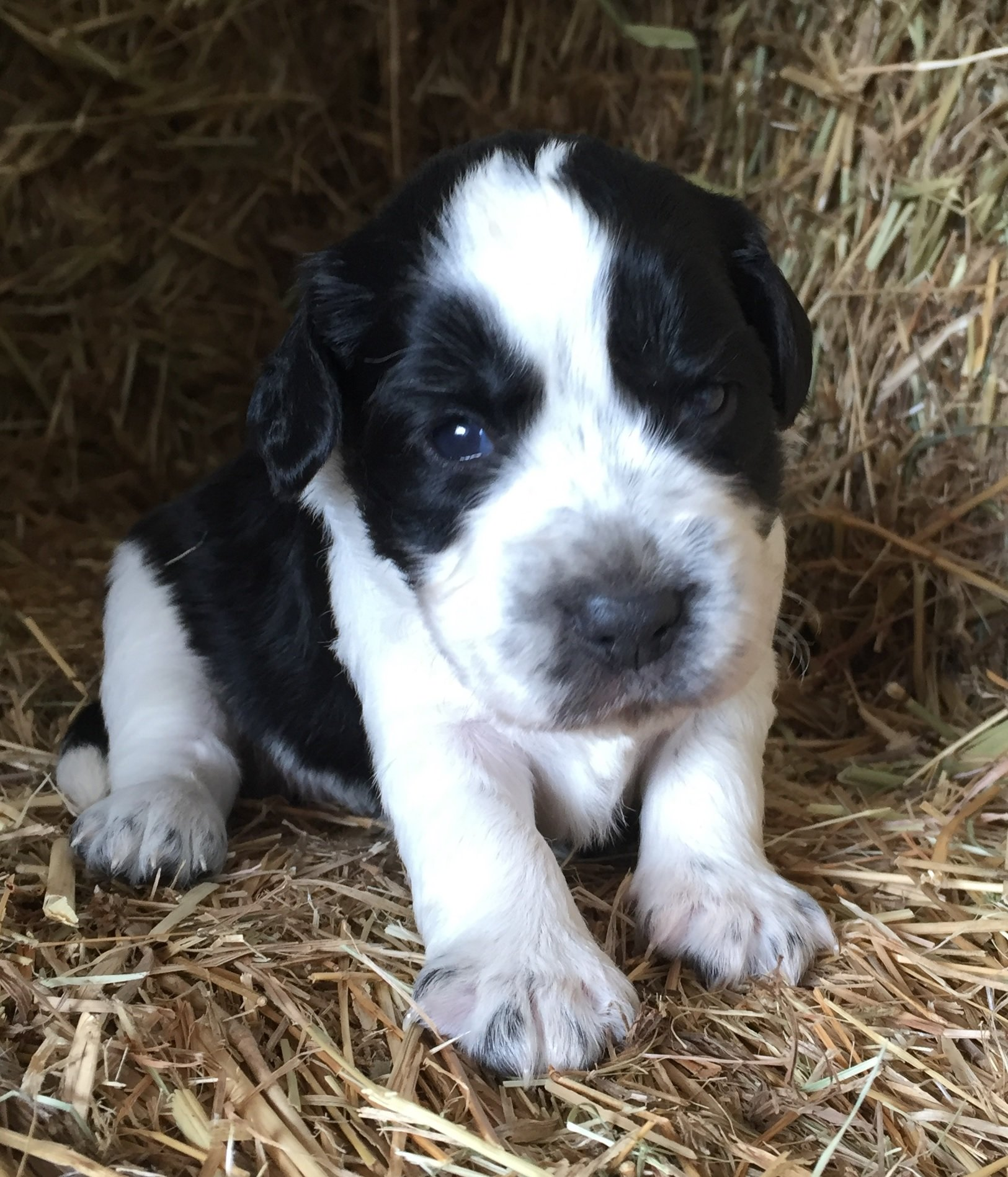 Border collie x puppies victoria