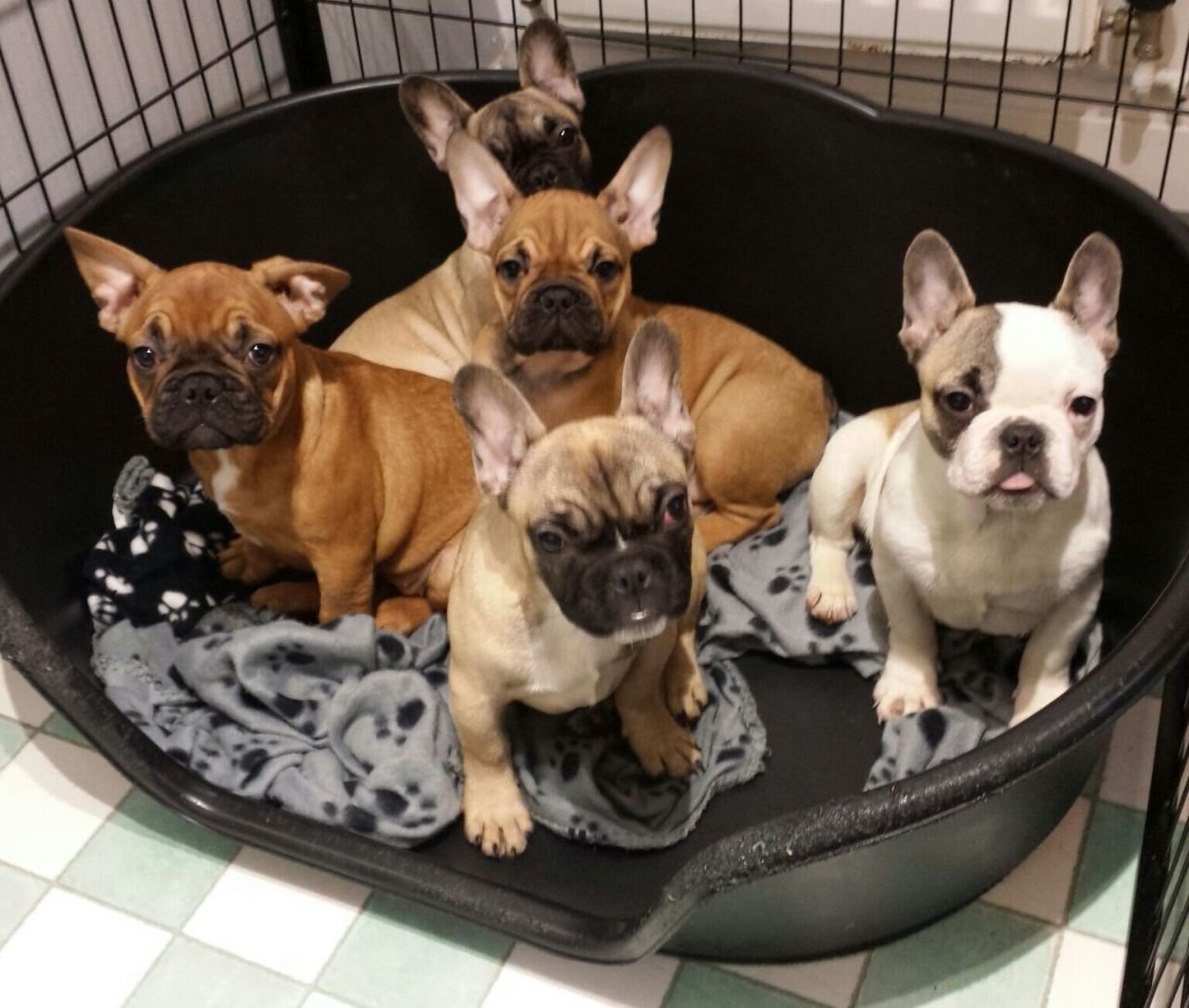 Top Twelve French Bulldog Free To Good Home Nsw {Kwalai}