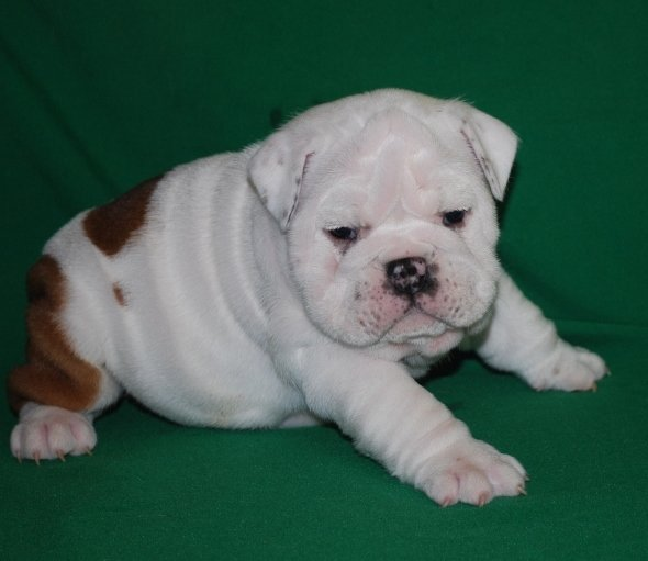 Home Raise English Bulldog Puppies Ready Now