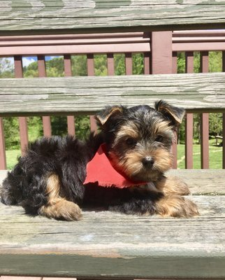 Chunky FAWN Yorkshire Terrier Puppies