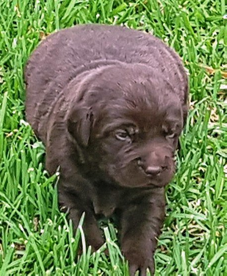 Labrador PUPS Registered Chocolate