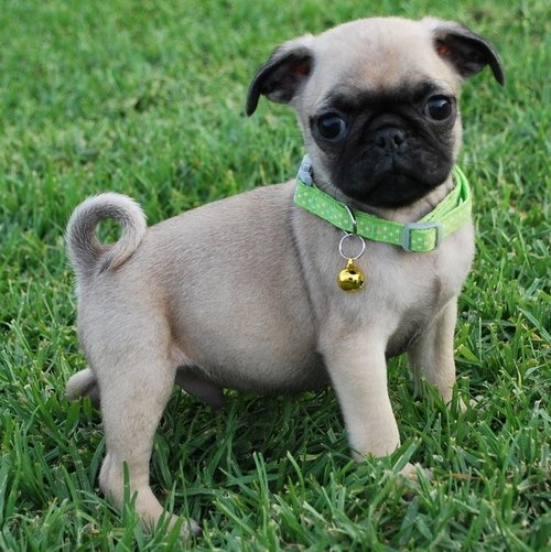 Quality FAWN PUG Puppies Ready Now For New Homes