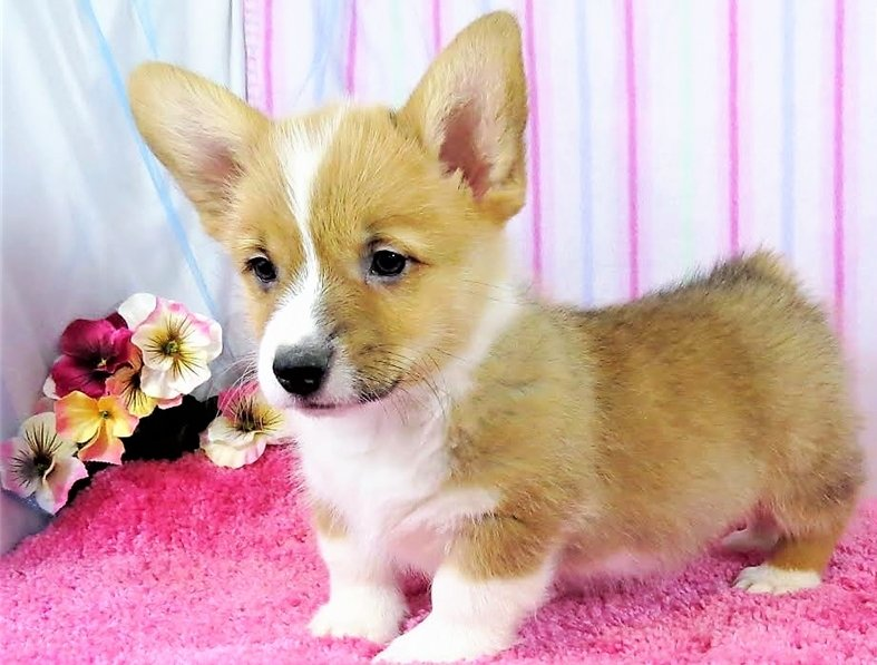 MALE and Female Corgi Puppies For Sale