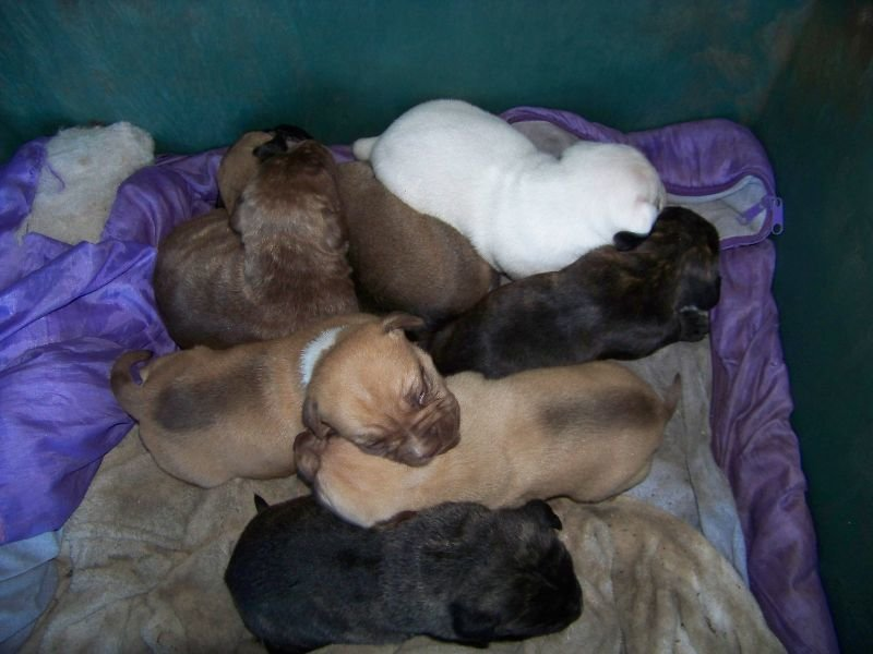 gold puppy sponsers guide dogs sa