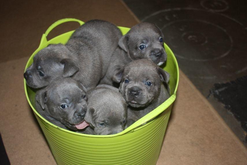 Blue Staffy For Sale : Blue staffy female blue dog for sale qld brisbane